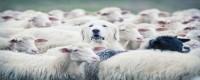 Accepting God's Shepherding